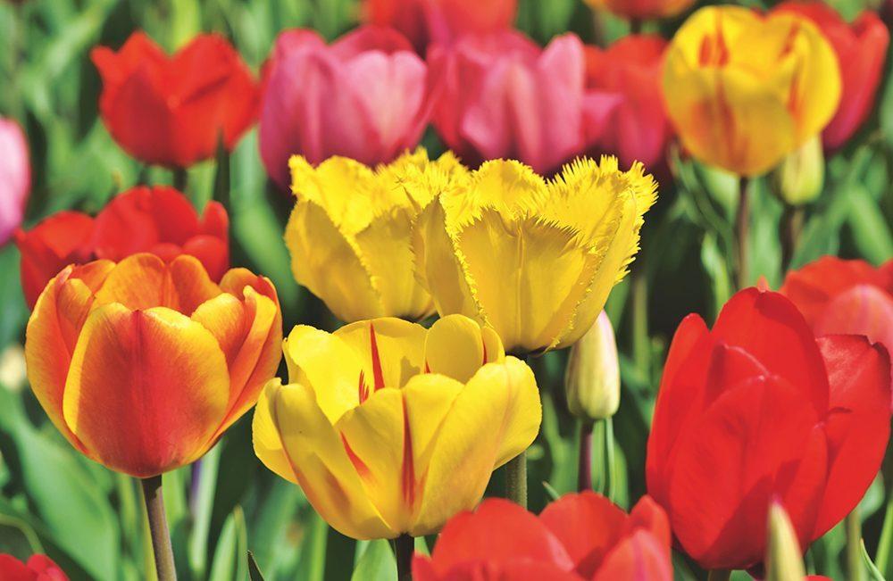 Holland Ridge Farms colorful tulips