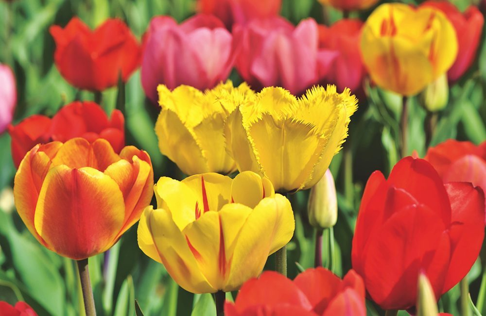 Holland Ridge Farms colorful tulips